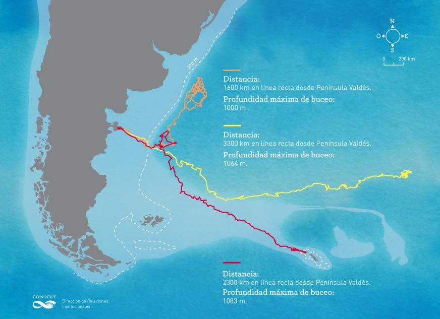 infografía.elefantes.marinos.conicet